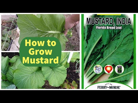 Growing Mustard Greens : Florida Broad Leaf Indian Mustard