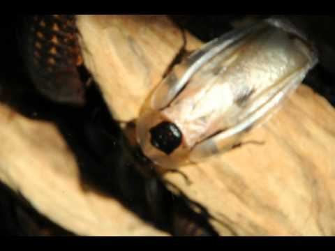 Прозрачный таракан