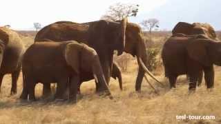 Слоны едят траву в саванне (Elephants Eat Grass In Savannah)