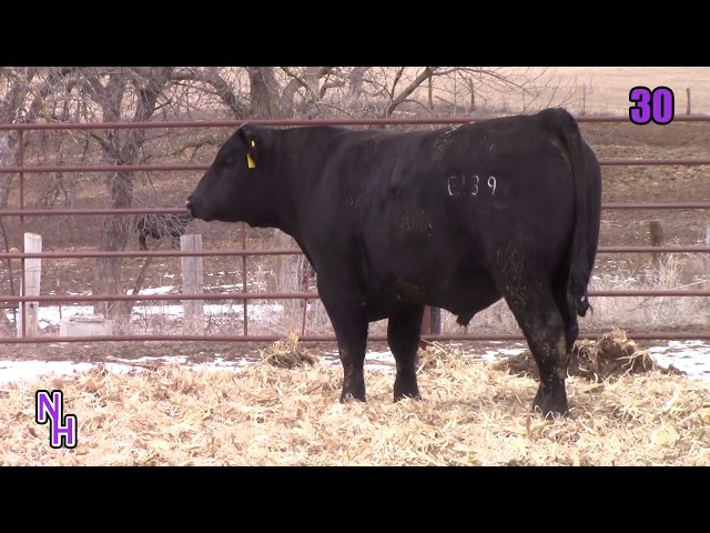 New Haven Angus Lot 30