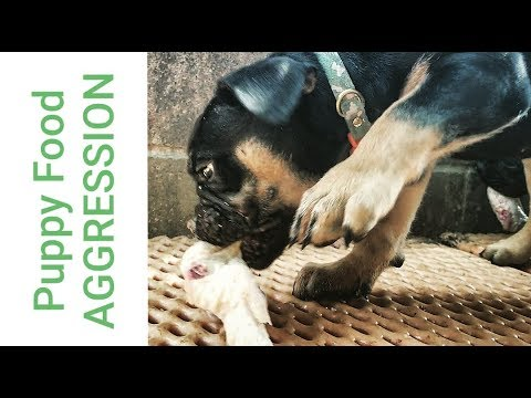 Food Aggression In Puppies Progress Report 5 Youtube