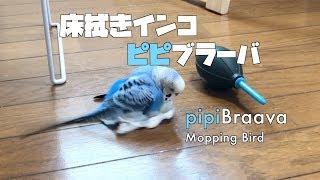 【床拭きインコ】ピピブラーバ! pipiBraava Mopping Bird! [#057] thumbnail