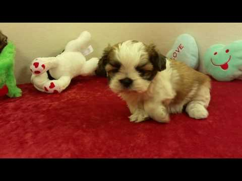 Shih-tzu Puppies For Sale In Texas