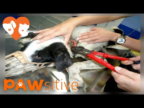 Rescuers See What Is Wrapped Around Dogs Neck And Are Shocked