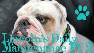 Lincoln's Daily Maintenance Part 2 - Face Cleaning | ENGLISH BULLDOG