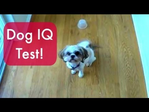 Dog IQ Test: Sandy The Shih Tzu
