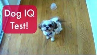 Dog Iq Test: Sandy The Shih Tzu