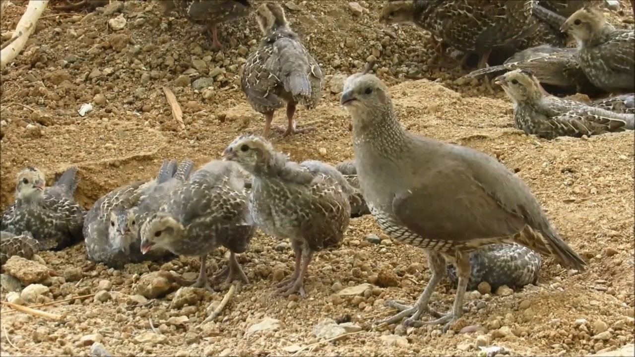 Two California Quail parents at the reserve with over 32 chicks ...