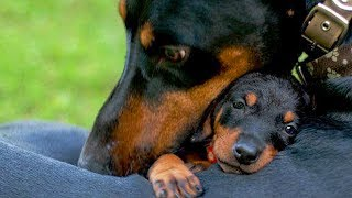 Mother Dogs Protecting Their Babies Compilation
