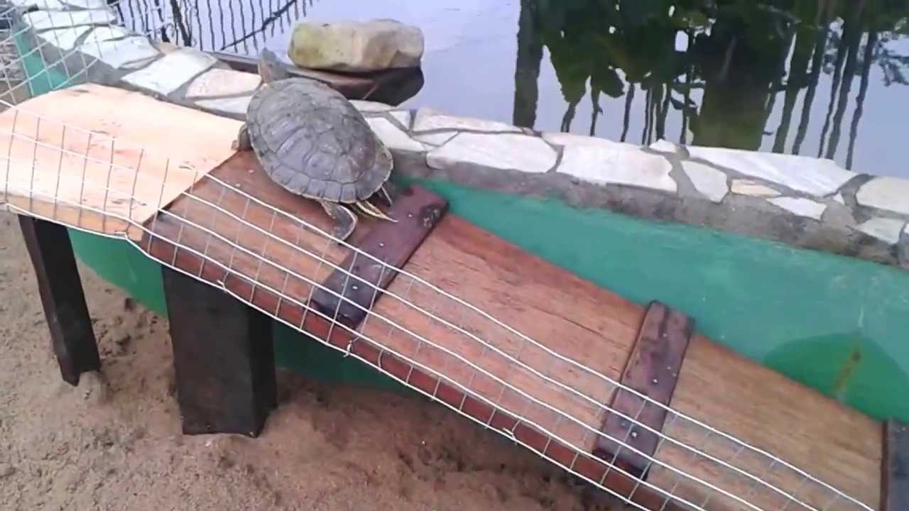Tartaruga acar lambari carpas koi e kinguios lago for Como criar peces koi