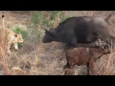 Battle Between Lions & A Buffalo With Calf