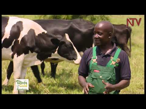 Seeds of Gold: How to make profit from cattle keeping