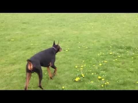 Zeus the Doberman Pinscher stalking Nyla