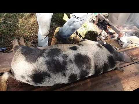 MATANDO PORCO CAIPIRA - Tutorial killing pig - MELHOR FORMA DE MATAR