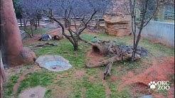 OKC Zoo Mountain Lion Cub Cam Launch 2019