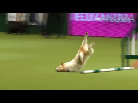 Tumbling Jack Russell wins hearts after bad dog show run - Dauer: 65 Sekunden