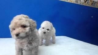 French Poodle Minitoy  Y Tacita Aceptamos Tarjetas