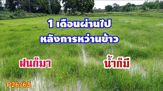 แปลงนาข้าวหลังได้น้ำฝน สภาพเป็นยังไงบ้างอายุข้าวเพิ่งได้ 1 เดือน