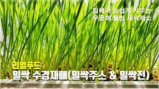 새싹채소키우기 Ep.5 밀싹 집에서 키우기 새싹밀 수경…