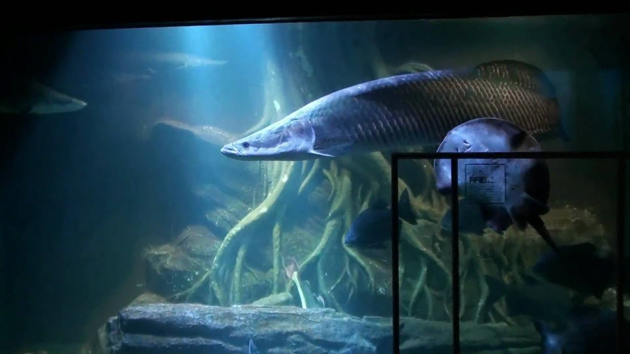 Underwater World Pattaya 2010 Full HD Part 2 Freshwaterfish. - YouTube