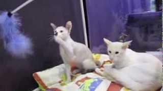 ИнфоКот 2013 Балинез или балийская кошка