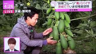 茨城県那珂市の青パパイヤ生産販売を行っている、やぎぬま農園の畑の中...