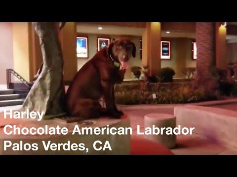 Harley | Chocolate American Labrador | Palos Verdes, CA
