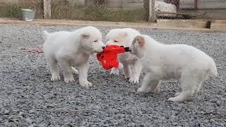 Щенки Алабая среднеазиатская овчарка funny аlabai puppies