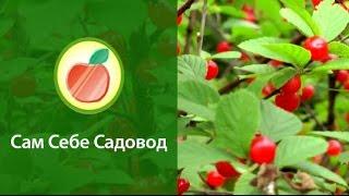 Войлочная вишня(http://blogsadovoda.ru/?p=3994 Войлочная вишня (Prunus tomentosa) пока еще есть не в каждом саду, а зря — доказательством тому..., 2013-07-06T21:04:51.000Z)