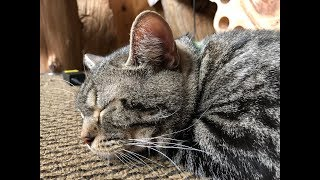 小デブな我が家の「ポンちゃん」の #猫 #寝起きドッキリ #おもしろ猫動...
