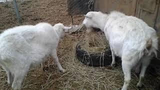 Как добиться вкусного молока без запаха у козы