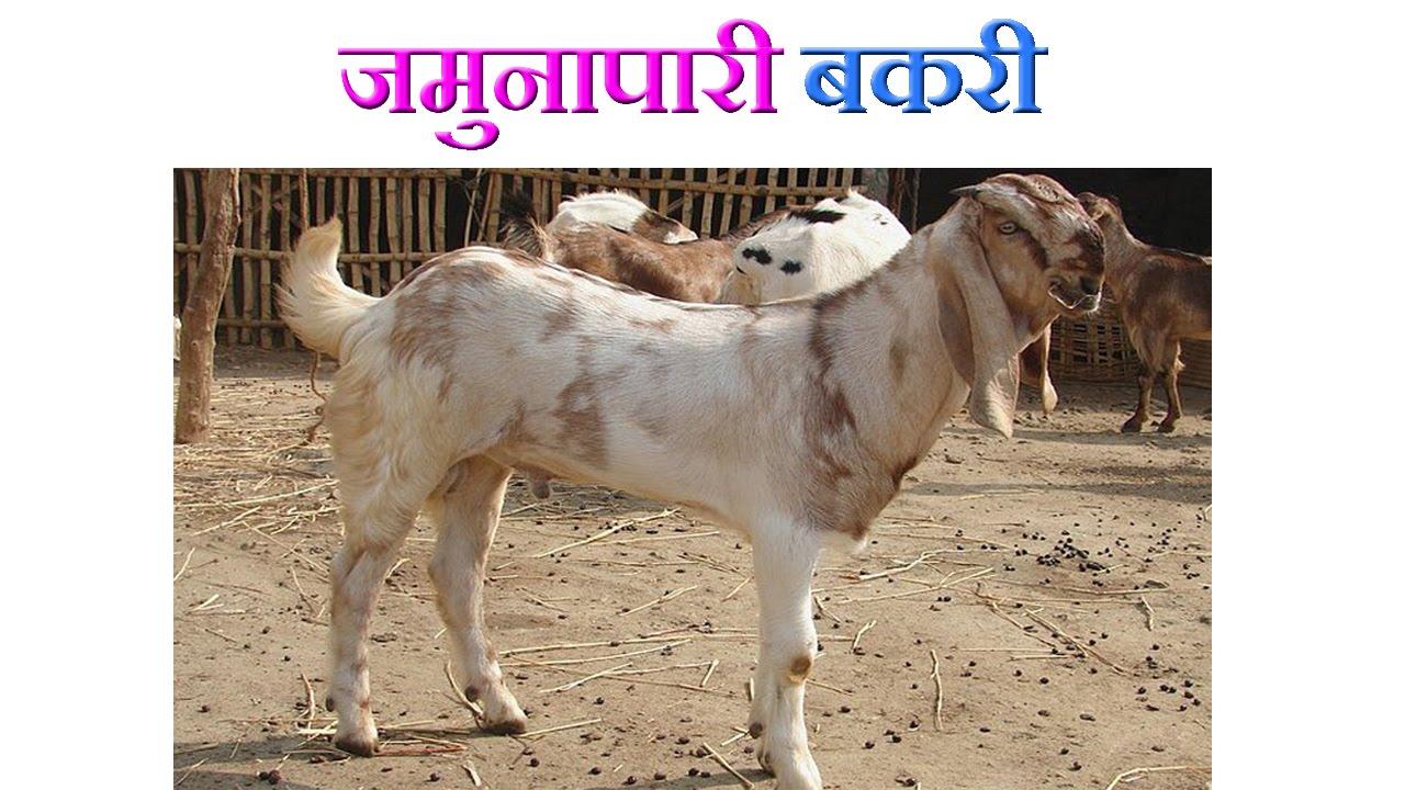 Jamunapari Goat Benefi...