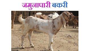 Jamunapari Goat Benefits - जमुनापारी बकरी की विशेषताएं- 2016