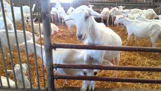 Ferme de Cabriole Chèvres