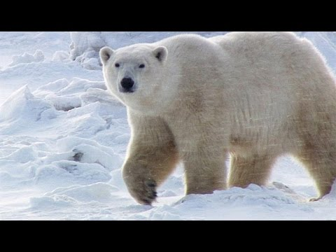 A Fertile Polar Bear's Hard Journey From Mating to Motherhood