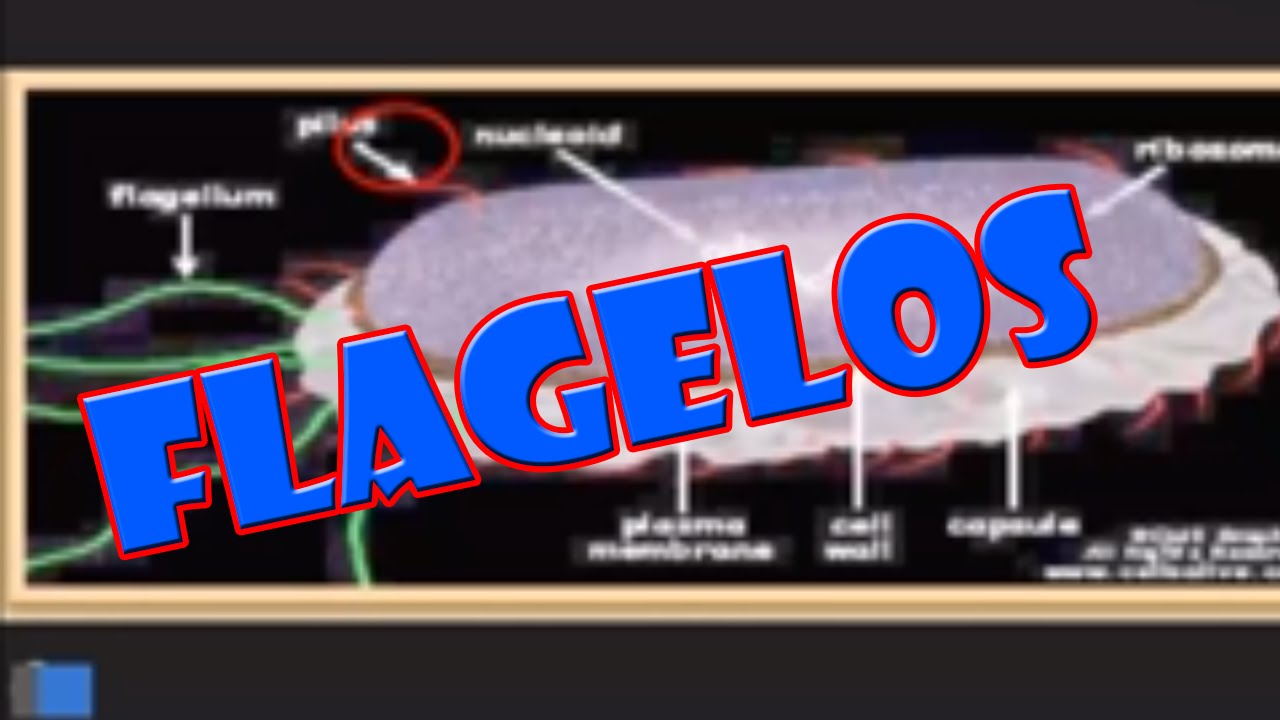 Los Flagelos Bacterianos E Inclusiones Youtube