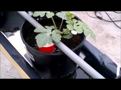 how to grow cucumbers hydroponically