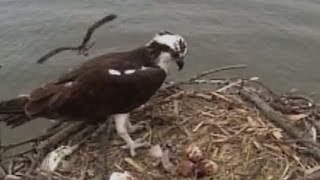 Osprey Couple Build Nest Right In Front Of Chesapeake Bridge Traffic Cam