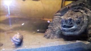 НЕ для Слабонервных Черепаха ест мышей! Common snapping turtle eats mouse