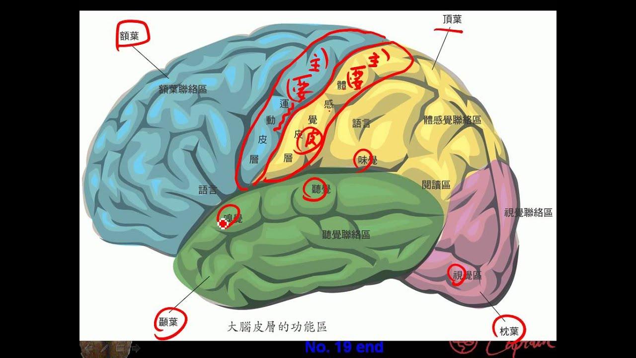 9 3 4中樞神經 大腦的結構分區三捷 - YouTube