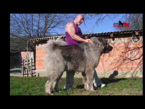 JOZO DOGS : Grizli  ( kazan )   1 - 15 months old