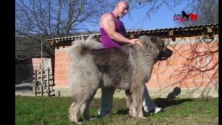 Repeat youtube video JOZO DOGS : Grizli  ( kazan )   1 - 15 months old
