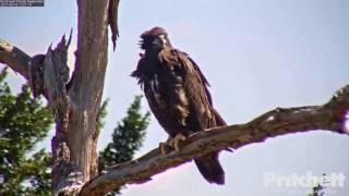 swfl-eagles-e9-s-return-almost-home-perched-on-oct-3-15-17