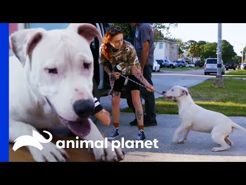 Rescuing A Deaf Pit Bull Caught By A Good Samaritan | Pit Bulls & Parolees