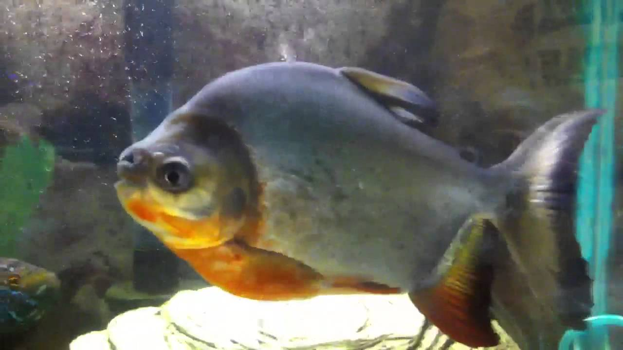 Red Bellied Pacu | WHOLESALE INDONESIA TROPICAL FISH