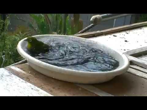 メジロの水浴び(5) Water bathing White-eyes(5)