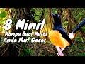 Minit Mampu Buat Murai Anda Ikut Gacor Murai Batu Borneo  Mp3 - Mp4 Download