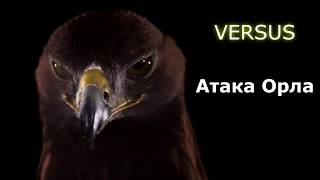 ВЕРСУС  АТАКА ОРЛА! Невероятные кадры нападения орлов!