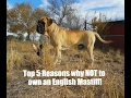DT Girl : Top 5 WORST Things about owning an English Mastiff