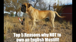 DT Girl Dog Rescue: Top 5 Things about owning an English Mastiff